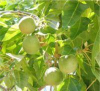 ロミロミ&ホットストーン&マタニティーロミロミマッサージ ハワイアンマッサージ専門店ゲットボディーバランス-ハワイ ククイの木