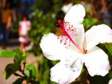 ハワイ写真 ハイビスカス
