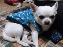 チワワ 愛犬 犬 ペット