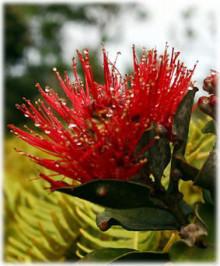 ハワイの植物 オヒア・レフア